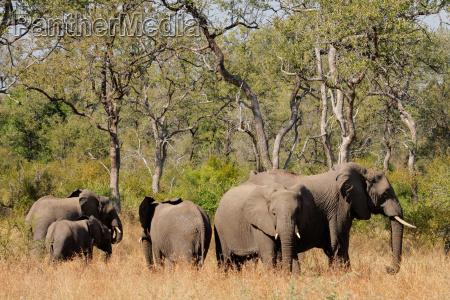 afrikanischen elefanten
