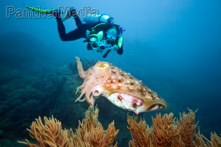 diver and cuttlefish