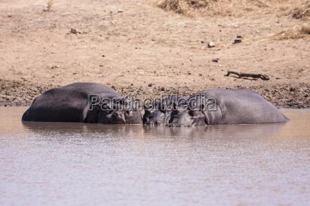 flusspferd hippopotamus amphibius
