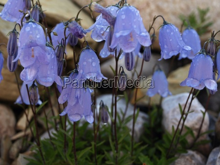 zwerg glockenblume campanula cochleariifolia