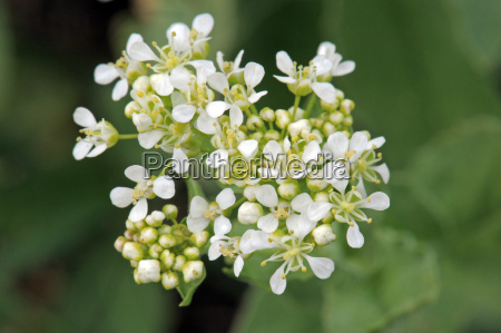 whitetop or hoary cress