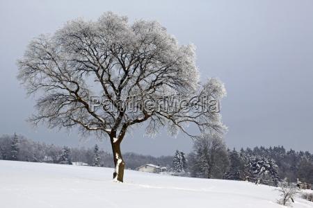 oak in snow