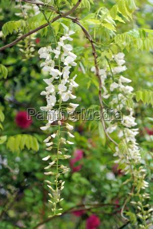 white wisteria flowers