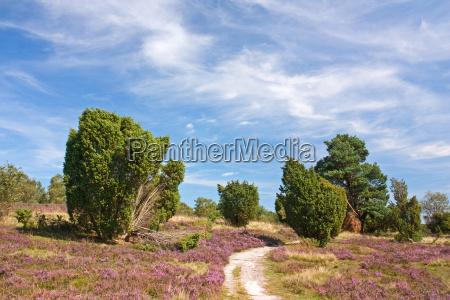 lunenburg heath heathland with juniper