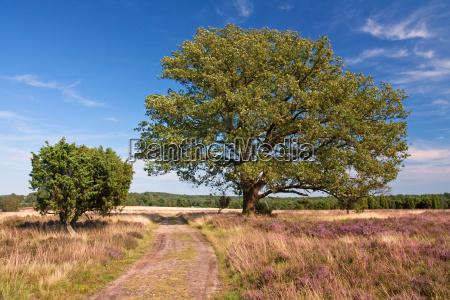 lueneburg heath moorland with oak and