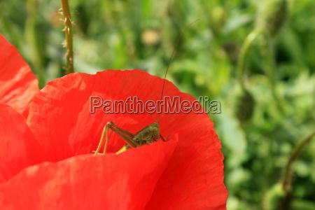 grashuefper on poppy
