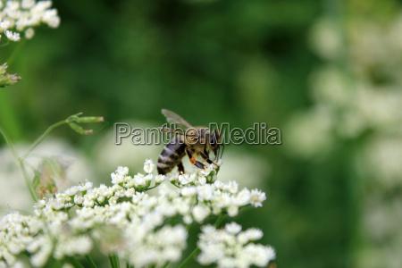 honey bee on a yarrow