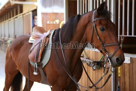 brown pferd mit sattel und zuegel