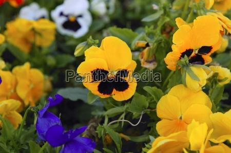 schoene viola x wittrokiana pansyblumen garten