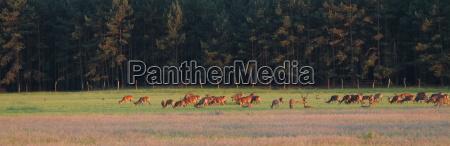 wildlife fallow deer in brandenburg near