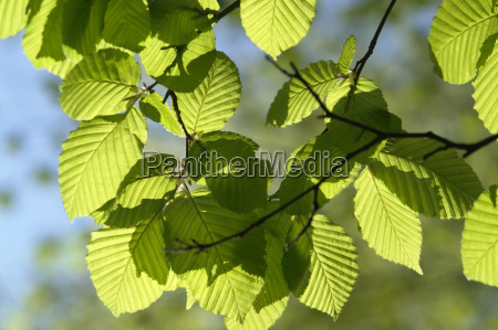 sunny illuminated spring leaves