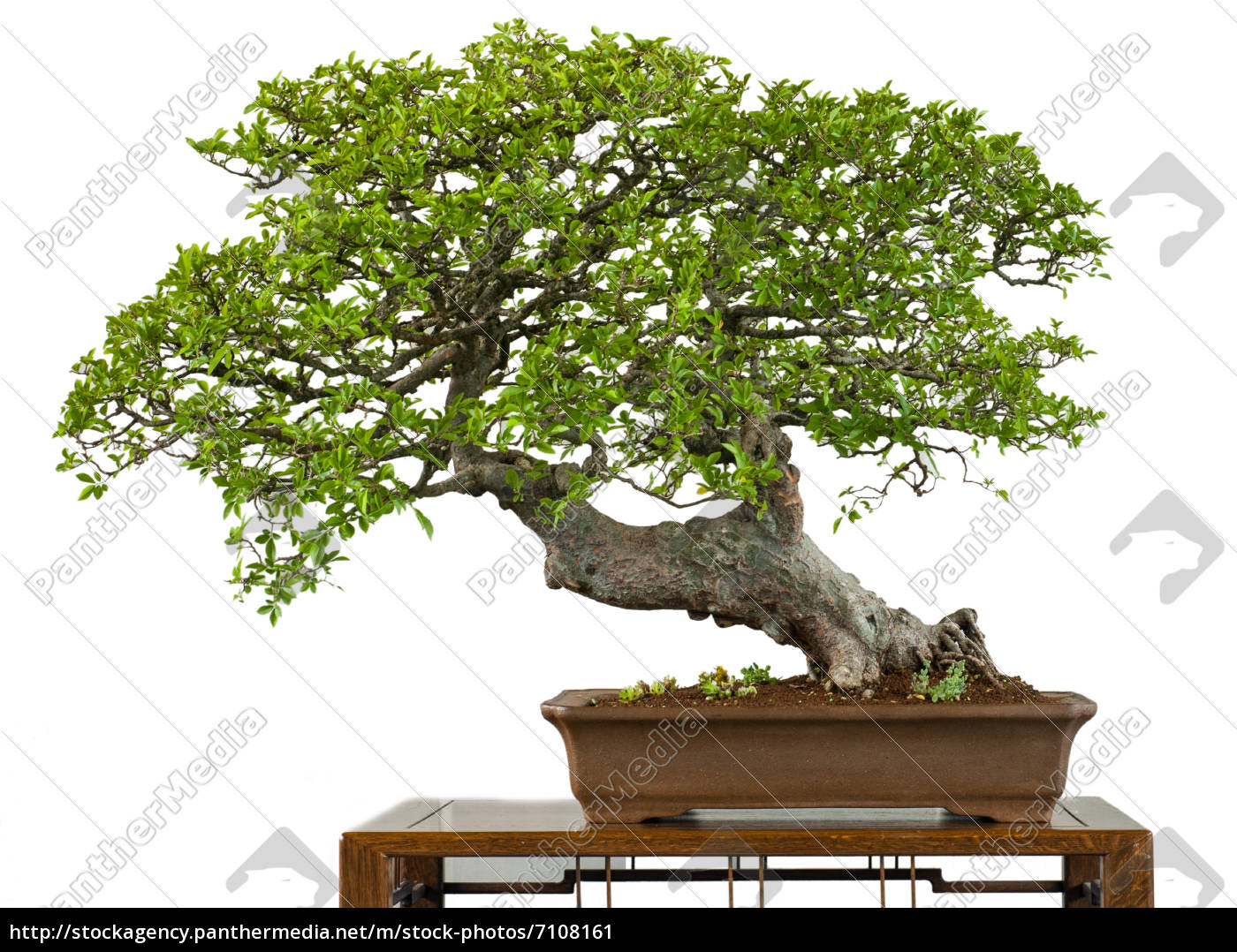 alte chinesische ulme als bonsai baum stockfoto 7108161 bildagentur panthermedia. Black Bedroom Furniture Sets. Home Design Ideas