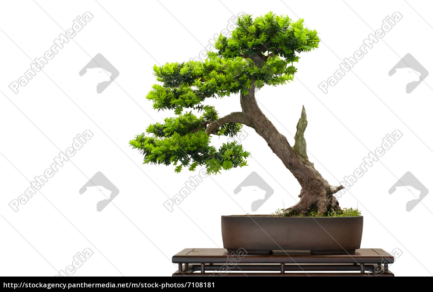 japanische eibe als bonsai baum lizenzfreies bild 7108181 bildagentur panthermedia. Black Bedroom Furniture Sets. Home Design Ideas