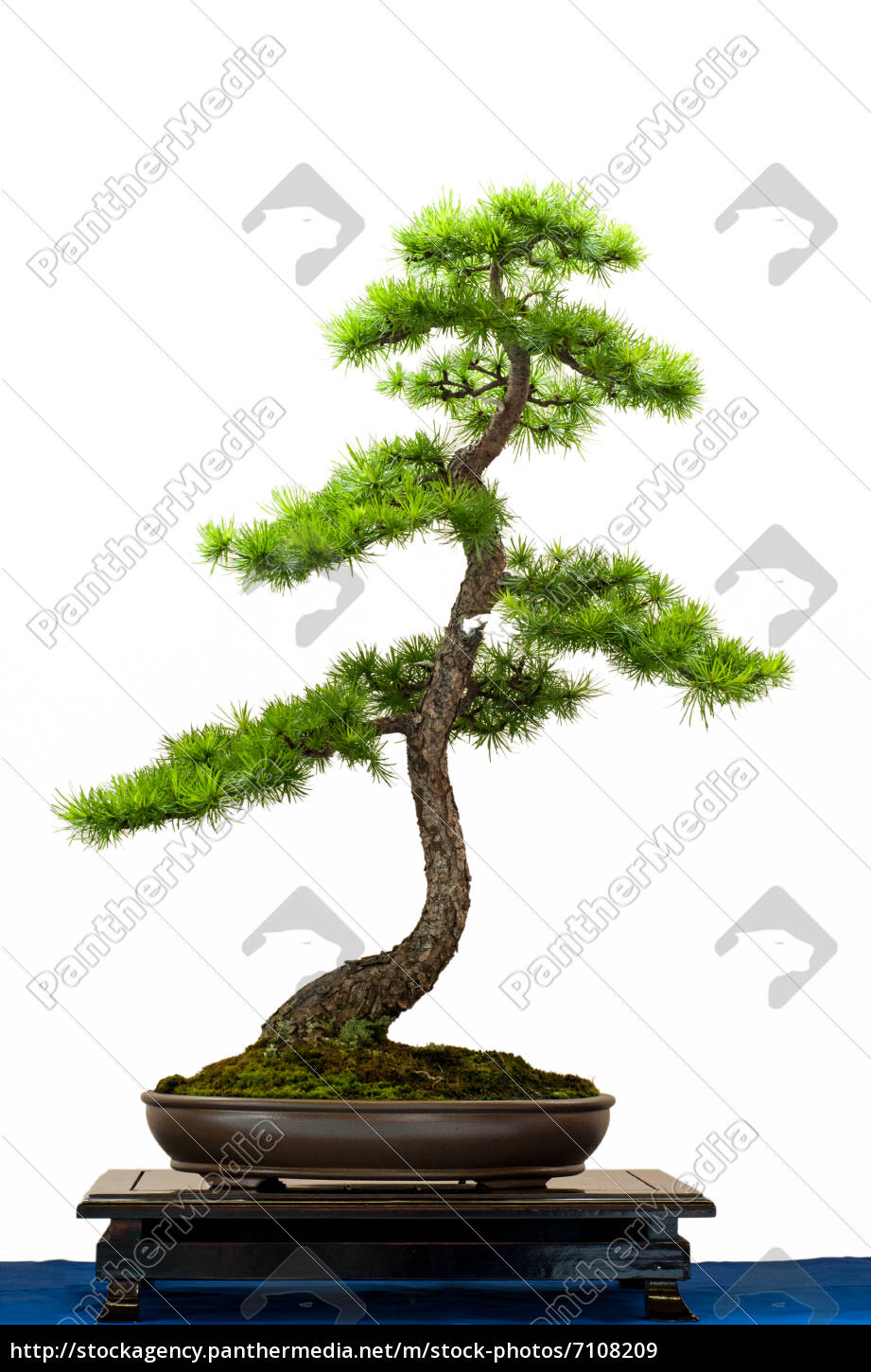 nadelbaum l rche als bonsai stockfoto 7108209 bildagentur panthermedia. Black Bedroom Furniture Sets. Home Design Ideas