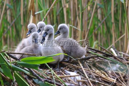 the swans cygnini