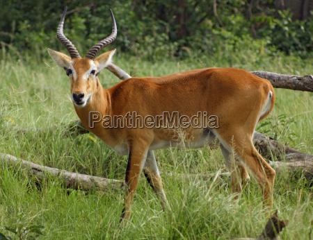 uganda kob in grassy ambiance