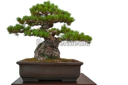alte kiefer pinus parviflora als bonsai