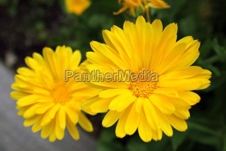 yellow aster like flowers