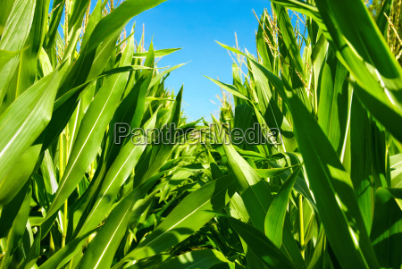 cornfield seen from the middle of