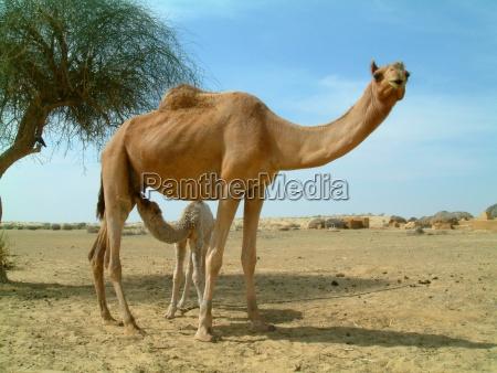 baby kamel fuetterung auf mutter kamel
