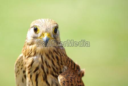 turmfalke falco tinnunculus