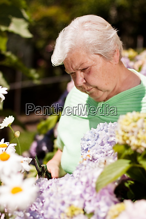 senior cut with secateurs in flowers