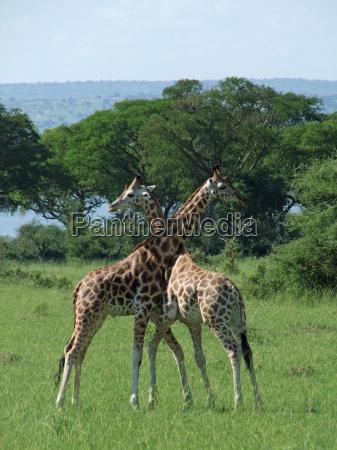 giraffes at fight in uganda