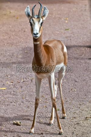 mhorr gazelle in abendsonne