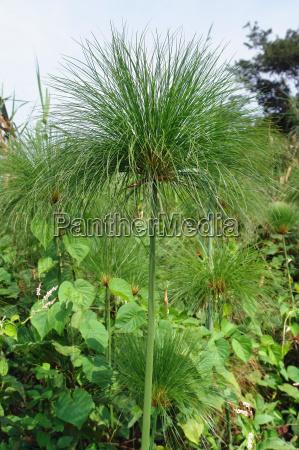 papyrus plant in uganda