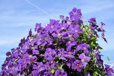clematis flowers