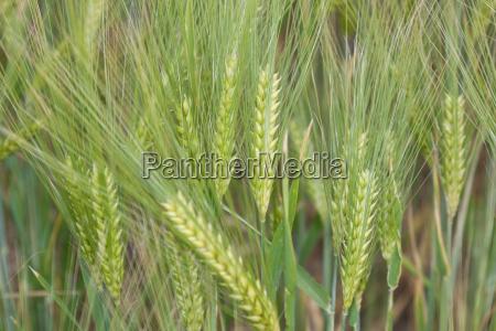 barley details