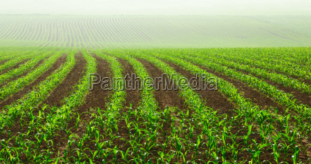 young corn plants in the field