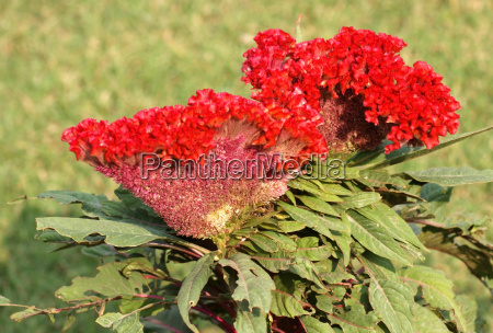 celosia flower in india