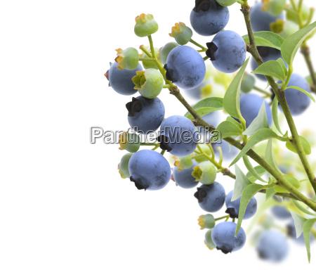 blau blatt baumblatt ast zweig gebuesch