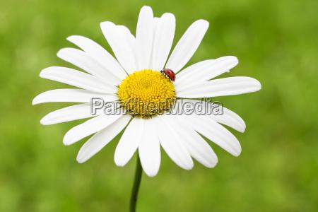 ladybug on margerite