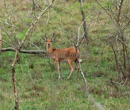 uganda kob in shrubby ambiance