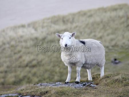 sheep at the coast detail
