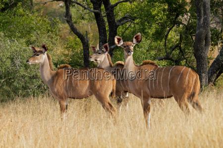 kudu antilopen