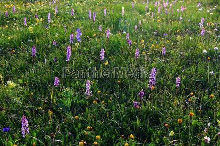 blumenwiese orchideen knabenkraut wiesenblumen blueten natur