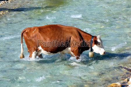 isar cows