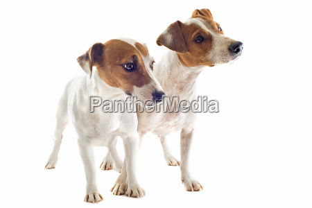 zwei jack russel terrier