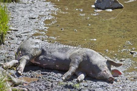 so ein schweineglueck