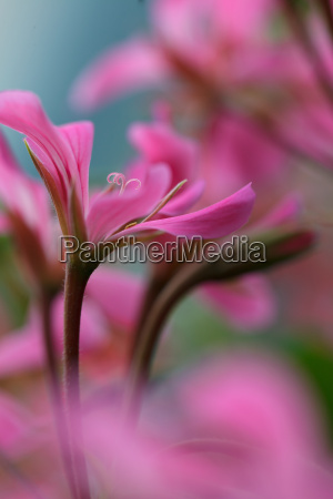 violet geraniums
