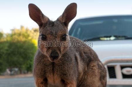 niedliches kaenguru vor einem auto in