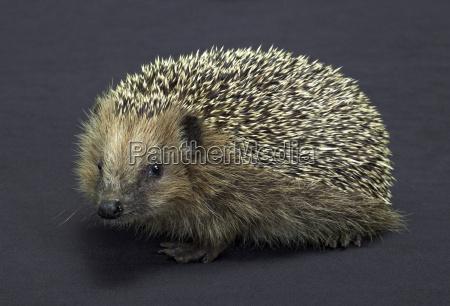 hedgehog in dark back