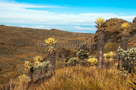 landscape with espeletia plants