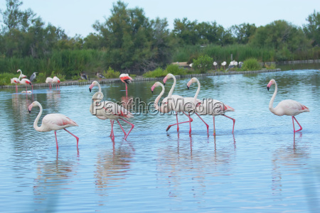 group of flamingos in the lake