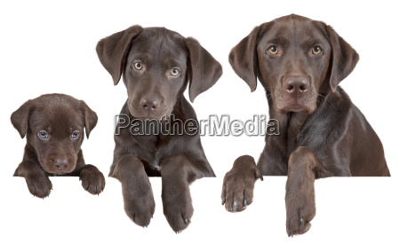 dog growing stages