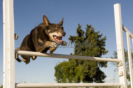 cane saltare balzare saltellare salta salto