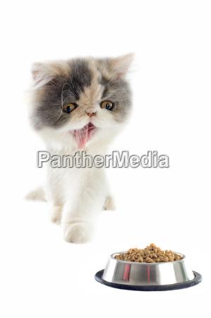 persisches kaetzchen und katzenfutter